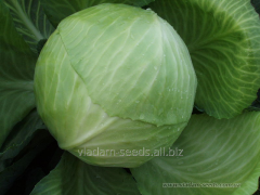 Seeds of cabbage of white Dekurion of F1