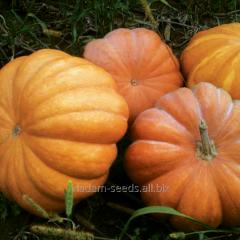 Pumpkin seeds Muscat de Provence