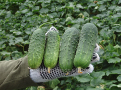 Cucumber seeds Regal F1