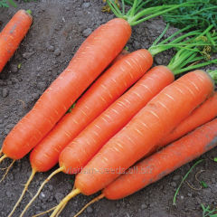Carrot F1 seeds Saturno