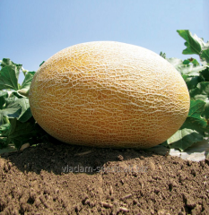 Melon seeds Amal F1
