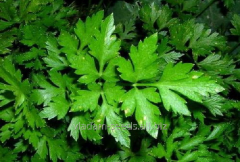 Seeds of parsley Italian Giant
