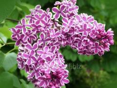 Lilac ordinary Senseyshn (syringa vulgaris