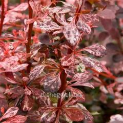 Japanese barberry Harlekin (Berberis thunbergii