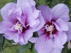 Hibiscus Syrian Ardens (hibiscus siriacus Ardens)