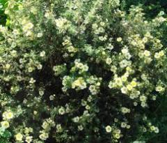 Cinquefoil shrubby Primrose Byyuti (potentila