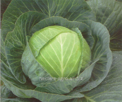 Seeds of cabbage of white Bravo of F1