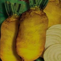 Beet fodder Ekkendorfskaya yellow
