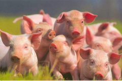 Bioadditives for pigs Enteronormin