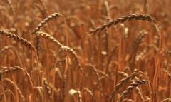 Яра пшениця сорт Струна Миронівська
