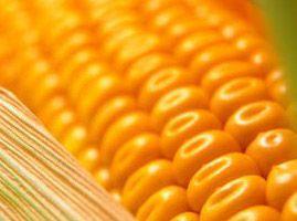 Corn seeds Belozersky 295. To buy corn seeds.