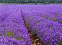 Essential oil of a gorgy lavender