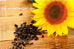 Hybrid of sunflower NS-Sumo-2017