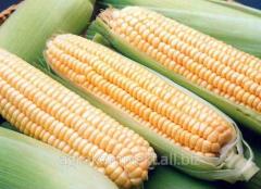Hybrid of corn of HC-2612 (Original Serbia)