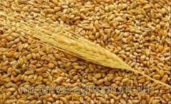 Семена ярого ячменя Алисиано КВС