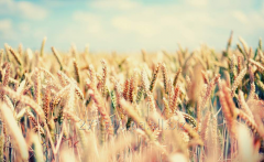Wheat Barley Reece Kukuruza of the Sorghum Mille