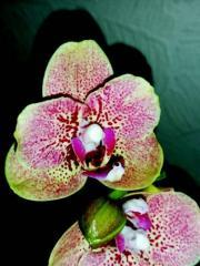 Орхидея Фаленопсис розово-салатовый