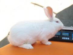 Rabbits mea