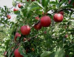 Саженцы яблони Гала, Голден Делишес, Джонаголд,