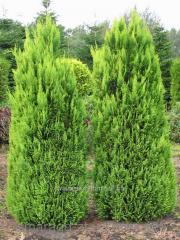 "Alyumi Lawson cypress ""Alumi"