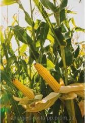 Hybrid of corn of Mas 32 WEDNESDAY