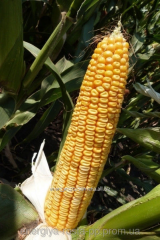 Hybrid of corn of Mas 35.WX
