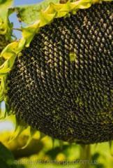 Hybrid of sunflower of Mas 82.A