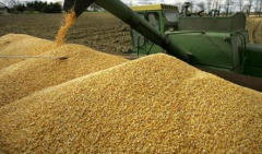 Corn. Realization of corn on a constant basis. The