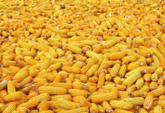 Corn. All grades, corn wholesale from the agrarian