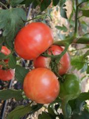 Pandaroza f1/pandarosa f1 - a tomato pink