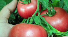 Rosi Pinc f1/rozi pink f1 — a tomato