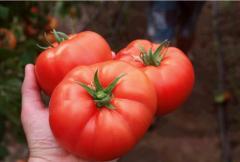 Lezaforta f1/lezaforta f1 — a tomato