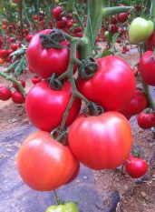 Pink Rose f1/pink rous f1 — a tomato, yuksel seeds