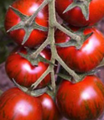 Tiger f1/taiger f1 — a tomato, yuksel seeds of 100