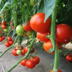 Pablo f1/pablo f1 — a tomato indeterminantny,