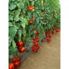 Michel f1/michelle f1 – a tomato indeterminantny,