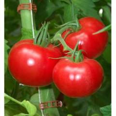 Pink paradayz f1/pink paradise f1 – a tomato