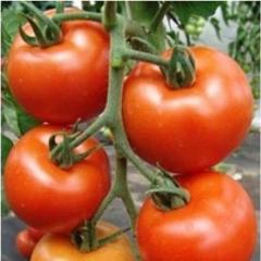 Daphné f1/daphne f1 — a tomato indeterminantny,