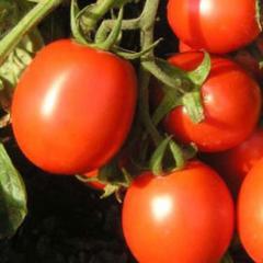 Tastiyer f1/tastiyer f1 — a tomato