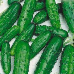 Ira f1/ira f1 — a cucumber of
