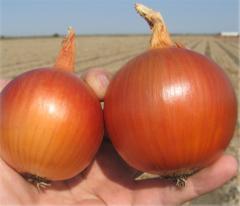 Manas f1/manas f1 - onion, bejo of 250 000