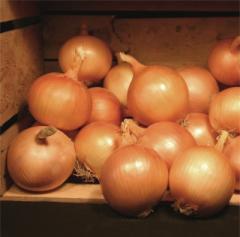 Valentino f1/valentino f1 — onion, nickerson zwaan