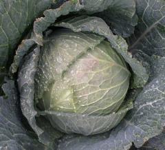 Morama f1/morama f1 - a Savoy cabbage, rijk zwaan