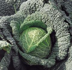 Melissa f1/melissa f1 - a Savoy cabbage, bejo of