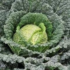 Dzhaspis f1/jaspis f1 — a Savoy cabbage, nickerson