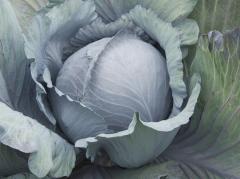 Reksoma f1/rexoma f1 - a red cabbage, rijk zwaan