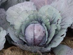 Redskay f1/redsky f1 - a red cabbage, clause of