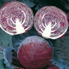 Primyero f1/primero f1 - a red cabbage, bejo of