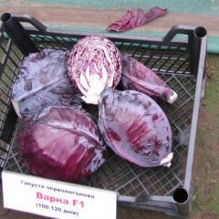 Varna f1/varna f1 — a red cabbage, sakata of 1000