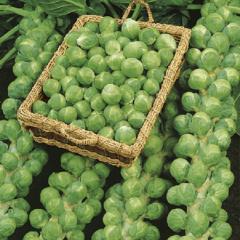 Diablo f1/diablo f1 - Brussels sprout, bejo of